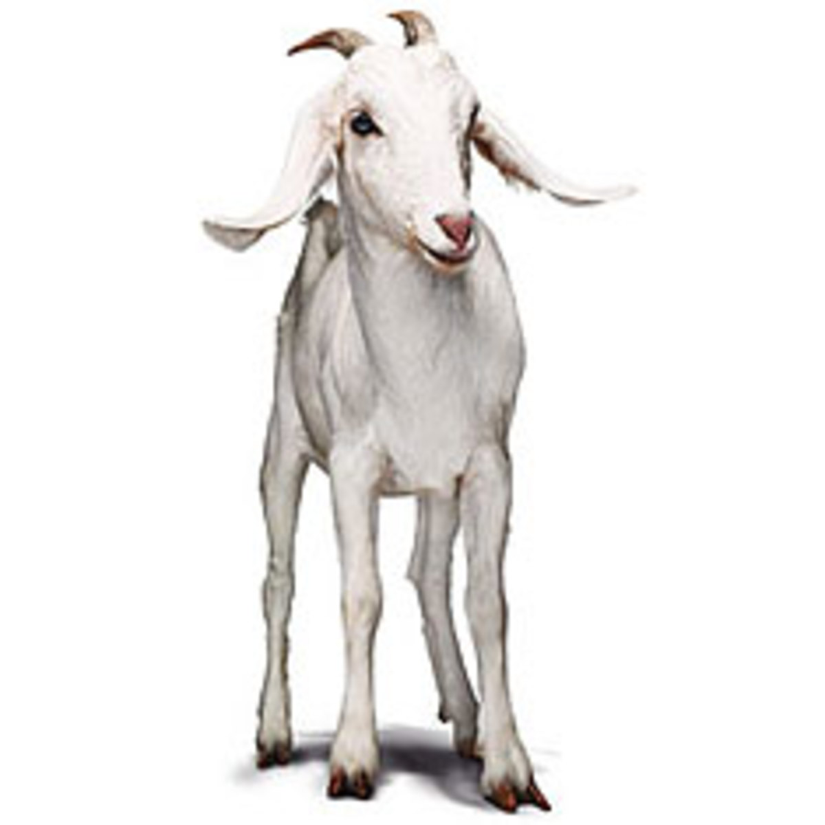 Oxfam Goat Giveaway